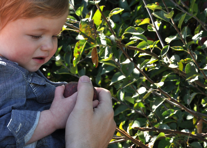 apple-picking-with-toddlers